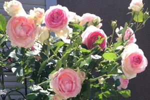 3pr_rose
