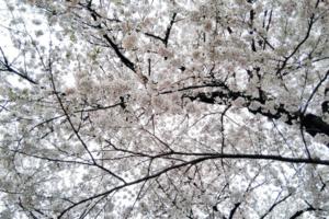 さいたま 占い 干支九星 朱かね 桜